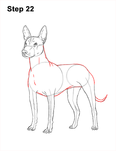 How to Draw a Xoloitzcuintle Mexican Hairless Dog 22