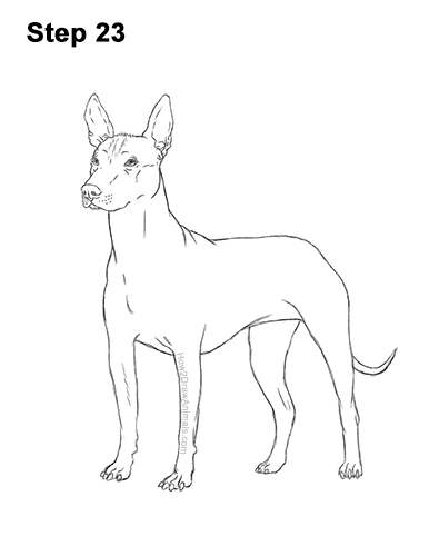 How to Draw a Xoloitzcuintle Mexican Hairless Dog 23