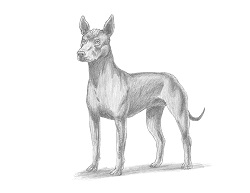 How to Draw a Xolo Xoloitzcuintle Mexican Hairless Dog