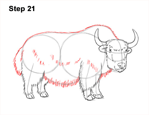 How to Draw a Domestic Himalayan Tibet Yak 21