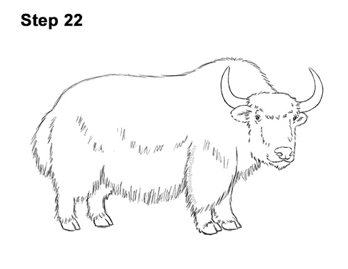 How to Draw a Domestic Himalayan Tibet Yak 22