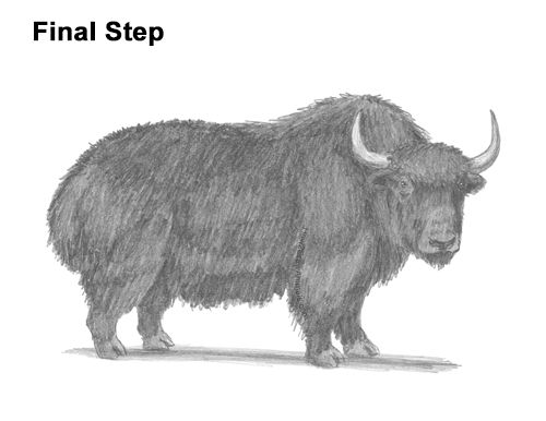How to Draw a Domestic Himalayan Tibet Yak