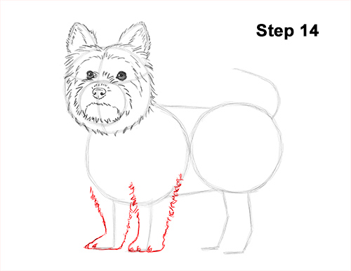 Draw Yorkshire Terrier 14