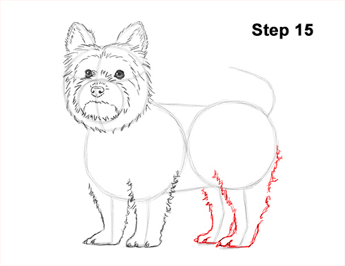 Draw Yorkshire Terrier 15