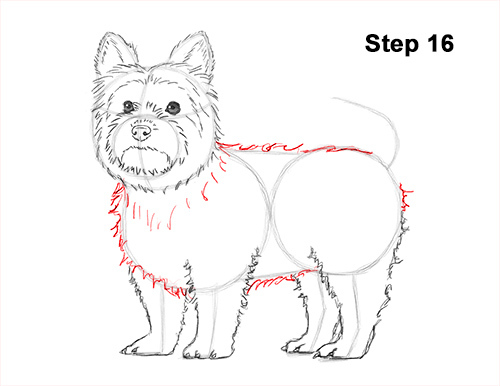Draw Yorkshire Terrier 16