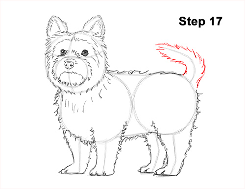Draw Yorkshire Terrier 17