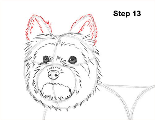 Draw Yorkshire Terrier 13