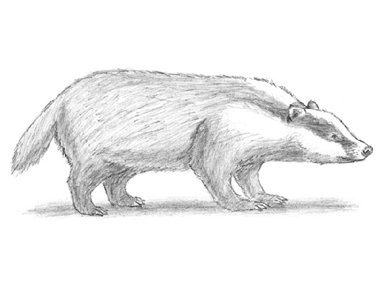 How to Draw a Badger