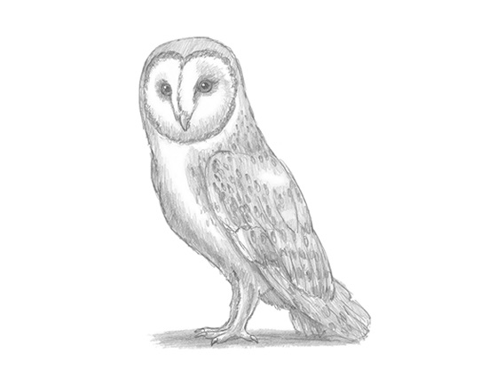 How to Draw a Barn Owl Raptor Bird