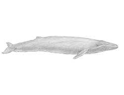How to Draw a Blue Whale