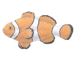 How to Draw a Clownfish