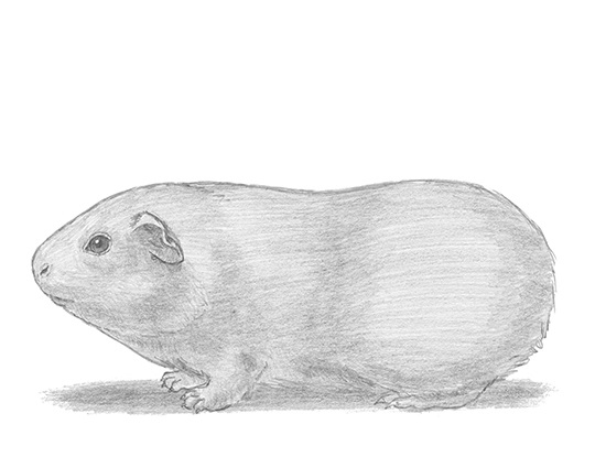 How to Draw a Guinea Pig