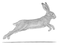 How to draw a Hare Jackrabbit