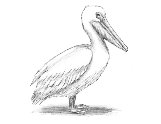 How to Draw a White Pelican