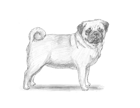 How to Draw a Pug Dog full body