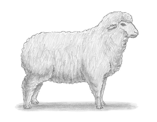 How to Draw a  Sheep Wool Side View