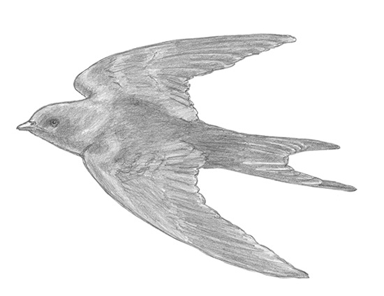 How to Draw a Swallow