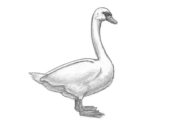How to draw a White Swan Bird