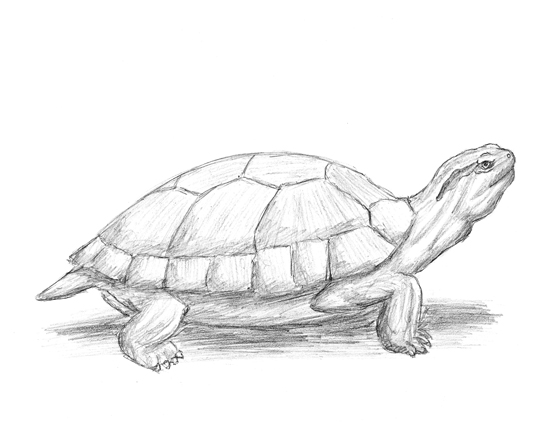 How to Draw a Red-Eared Slider Turtle